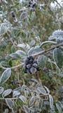 在霜的莓果 免版税图库摄影