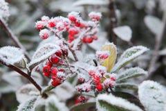 在霜霜之下的浆果。 山麓,意大利。 图库摄影