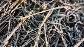 在霜,早晨的干草全部结霜秋天 影视素材