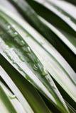在露兜树叶子的雨珠 免版税库存图片