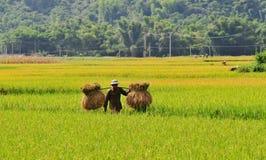 在露台的米领域的人运载的米在Mu Cang柴,北越南 图库摄影