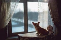 在露台门的雨泼溅物,当小狗彭布罗克角看在后院时 库存照片