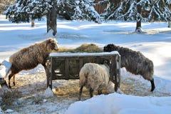 在露天博物馆Hägnan的山羊我Gammelstad 免版税库存照片