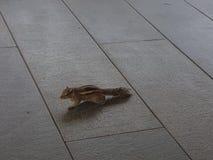在露天咖啡馆的灰鼠在Leela旅馆Kovlam,喀拉拉 免版税图库摄影