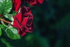 在露水下落的美丽的红色玫瑰  特写镜头 复制空间 免版税库存照片