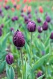 在露水特写镜头的明亮的紫罗兰色郁金香在领域 库存图片