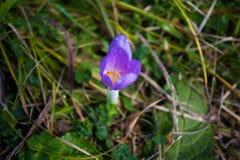 在露水的紫色番红花花 库存图片