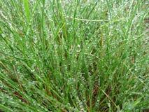 在露水的草。 免版税图库摄影