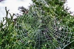 在露水闪耀的下落报道的美好的spiderweb在绿色树的在背景 库存图片