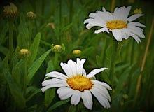 `在露水,与`的`的雏菊双交付的其他 ` 库存照片