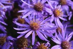 在露珠盖的翠菊或Michaelmas雏菊 图库摄影