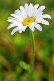 在露水的充满活力的夏天雏菊花 库存照片