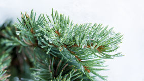 在露滴的反射在一棵绿色杉树 免版税图库摄影