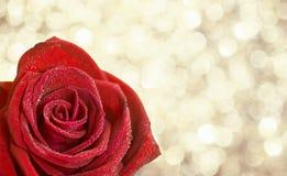 在露滴的开花的红色玫瑰在明亮的金黄bokeh backgrou 库存照片