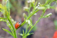 在露水的瓢虫 免版税图库摄影
