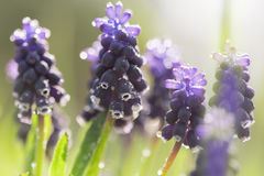在露水的紫色风信花花 库存图片