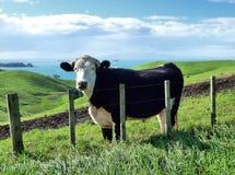 在青山的牛在海前面 免版税库存图片