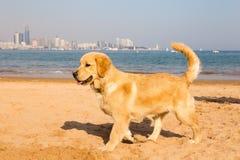 在青岛金黄沙子的金毛猎犬小狗  图库摄影
