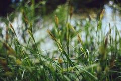 在青绿的黄色被弄脏的背景特写镜头的明亮的水多的薹草 绿草纹理和bokeh背景 免版税库存图片