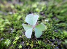 在青苔上的一片三叶草叶子 免版税库存图片
