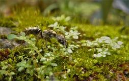 在青苔丛林的蚂蚁  库存照片