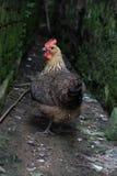 在青苔之间的鸡盖了石头 图库摄影