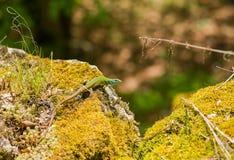 在青苔岩石的少年绿色东部蜥蜴 免版税库存照片