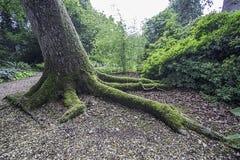 在青苔报道的爪状的树根 免版税库存照片