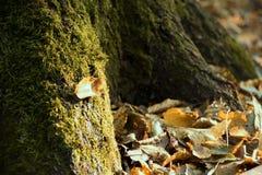 在青苔木头、秋天和日落的黄色叶子 图库摄影