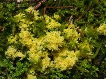 在青苔特写镜头,选择聚焦,浅DOF的黄色粘液菌 免版税库存图片