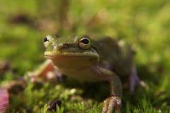 在青苔的一只雨蛙 库存照片