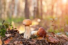 在青苔的两个等概率圆蘑菇 秋季森林 免版税库存图片