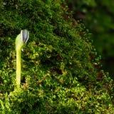 在青苔的向日葵幼木 免版税库存图片