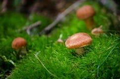 在青苔的小蘑菇 免版税库存图片