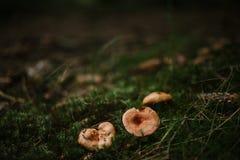 在青苔的小蘑菇 库存照片