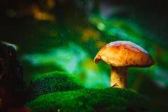 在青苔的新鲜的棕色盖帽牛肝菌蕈类蘑菇在雨中 免版税库存图片