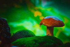 在青苔的新鲜的棕色盖帽牛肝菌蕈类蘑菇在雨中 免版税库存照片