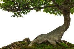 在青苔的树干报道了地面,在丝毫的微型盆景树 免版税库存图片