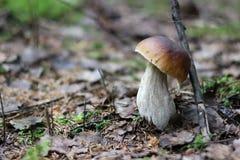 在青苔的橡木蘑菇 免版税库存图片