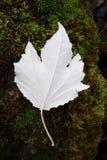在青苔的白杨树叶子 图库摄影