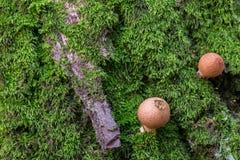 在青苔的真菌 免版税库存照片