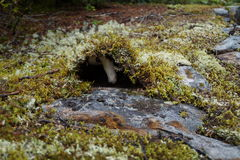 在青苔的秋天蘑菇 免版税库存图片