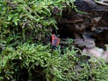 在青苔的红色昆虫 库存照片