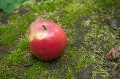 在青苔的红色苹果在森林里 免版税库存图片