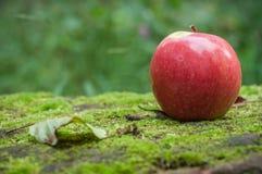 在青苔的红色苹果在森林里 库存图片