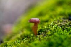 在青苔的蘑菇 库存图片
