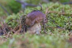 在青苔的蘑菇 图库摄影