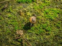 在青苔的蜗牛爬行包括地板 库存图片
