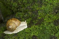 在青苔的蜗牛 图库摄影