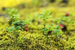 在青苔的被弄脏的背景莓果蔓越桔 免版税图库摄影